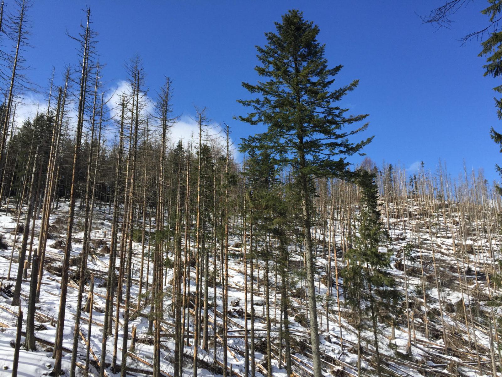 W ekosystemach skruszone, połamane, nieraz martwe drzewa pełnią niezwykle ważną rolę. Tworzą m.in.warunki, bymniejsze drzewa mogły się bezpiecznie rozwijać. Zakopane, marzec 2020.